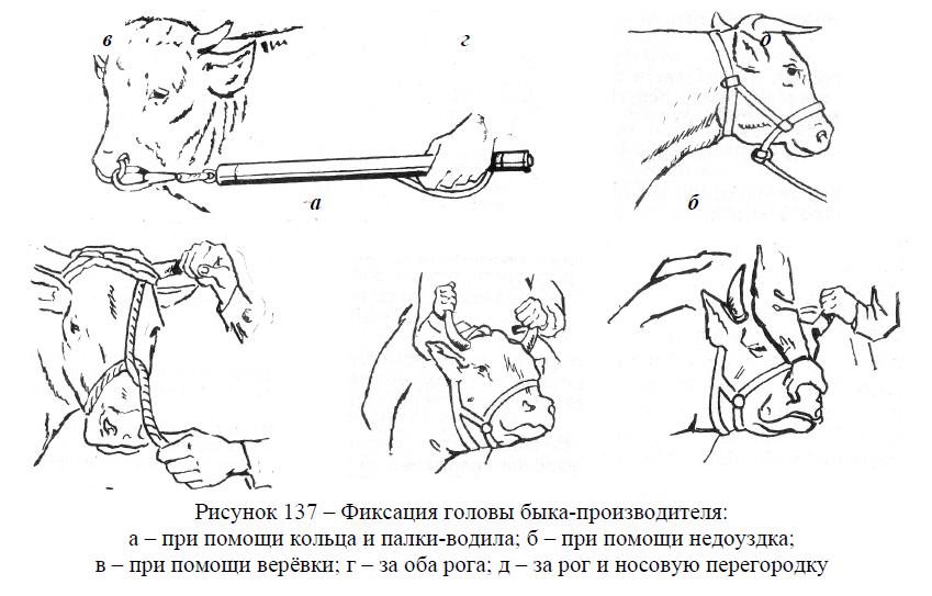Фиксация головы быка-производителя