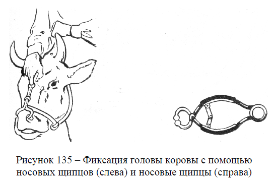 Фиксация головы коровы с помощью носовых щипцов