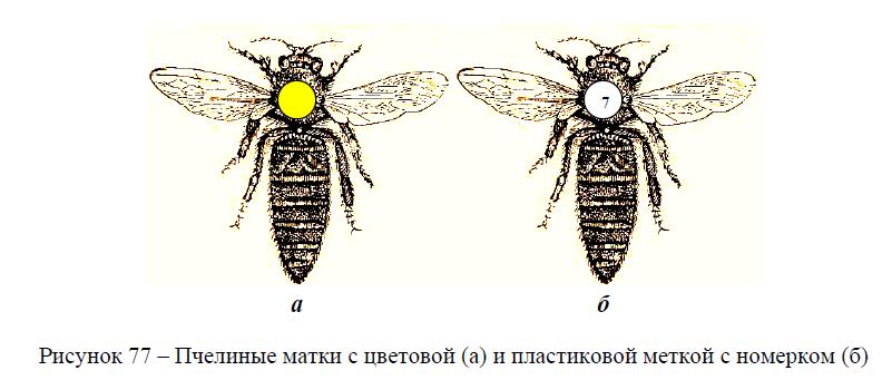 Пчелиные матки с цветовой (а) и пластиковой меткой с номерком (б)