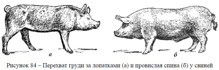 Пороки развития свиней
