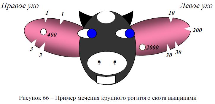 Пример мечения крупного рогатого скота выщипами