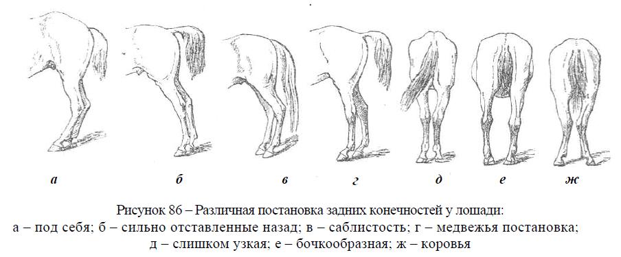 Различная постановка задних конечностей у лошади