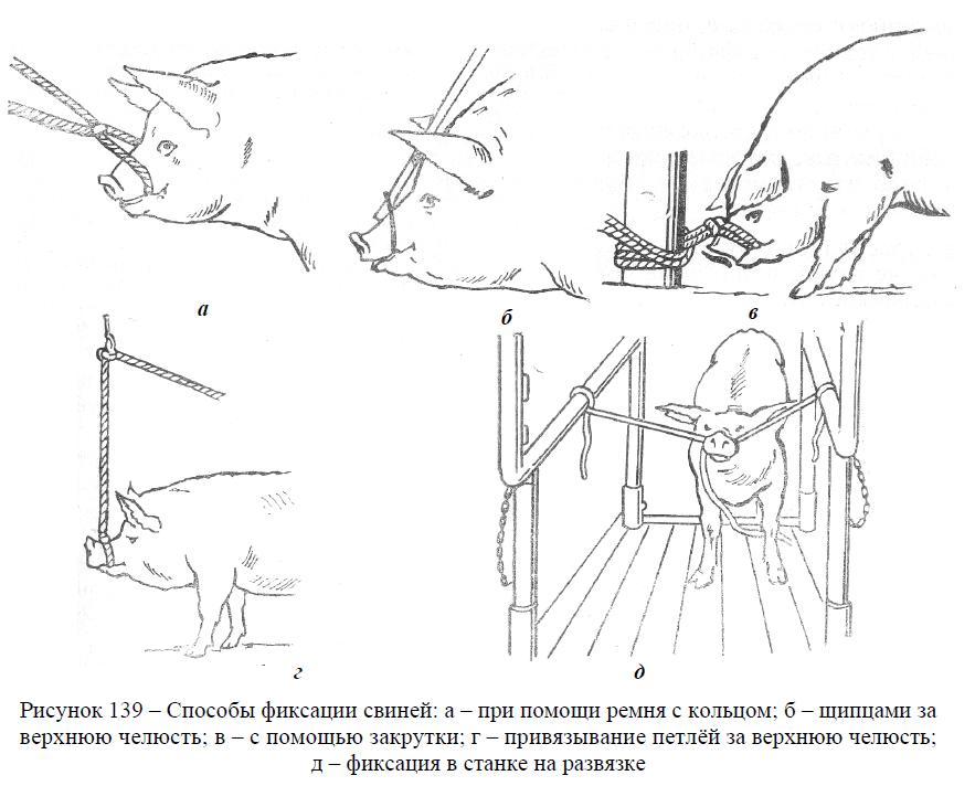 Способы фиксации свиней