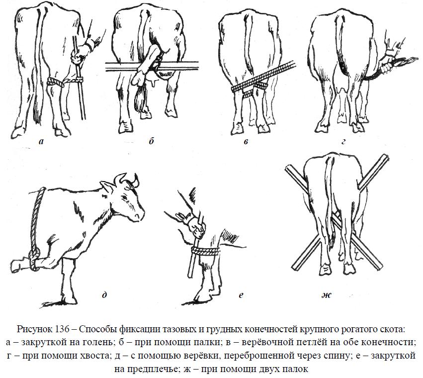 Способы фиксации тазовых и грудных конечностей крупного рогатого скота