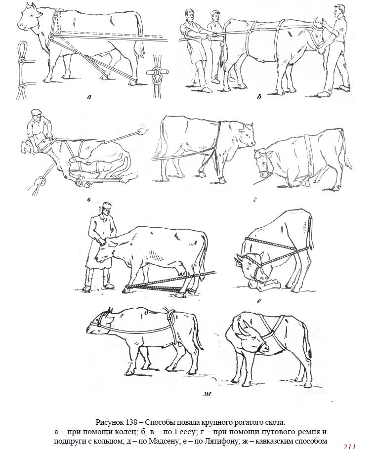 Правила безопасной работы с животными в скотоводстве