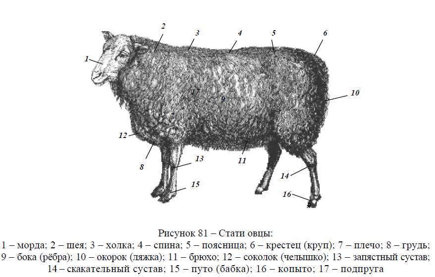 Стати овцы