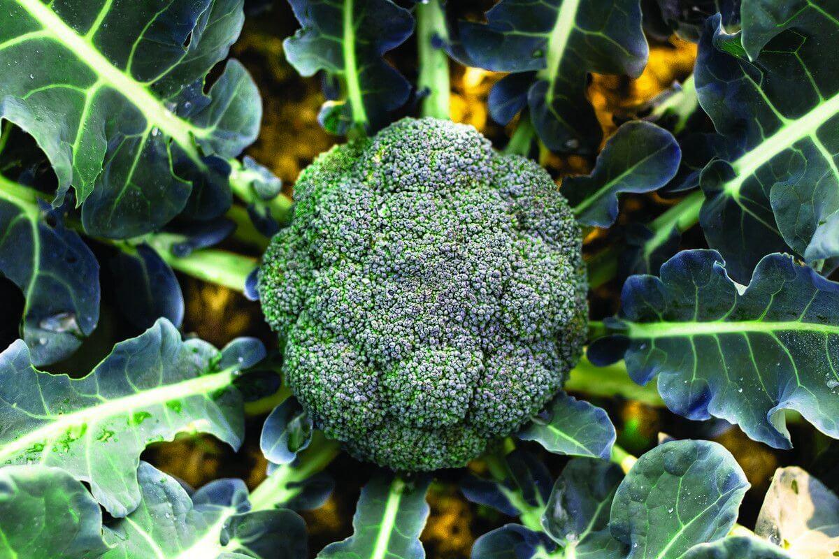 Как вырастить брокколи – зелёный источник витаминов