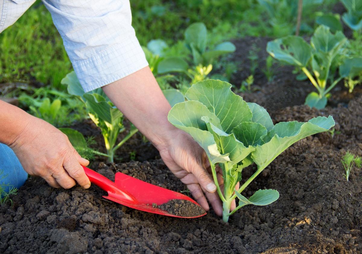Как вырастить рассаду ранней капусты, советы