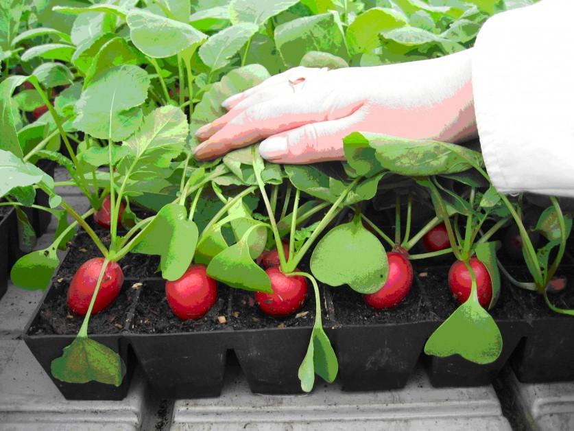 Выращивание редиса на подоконнике