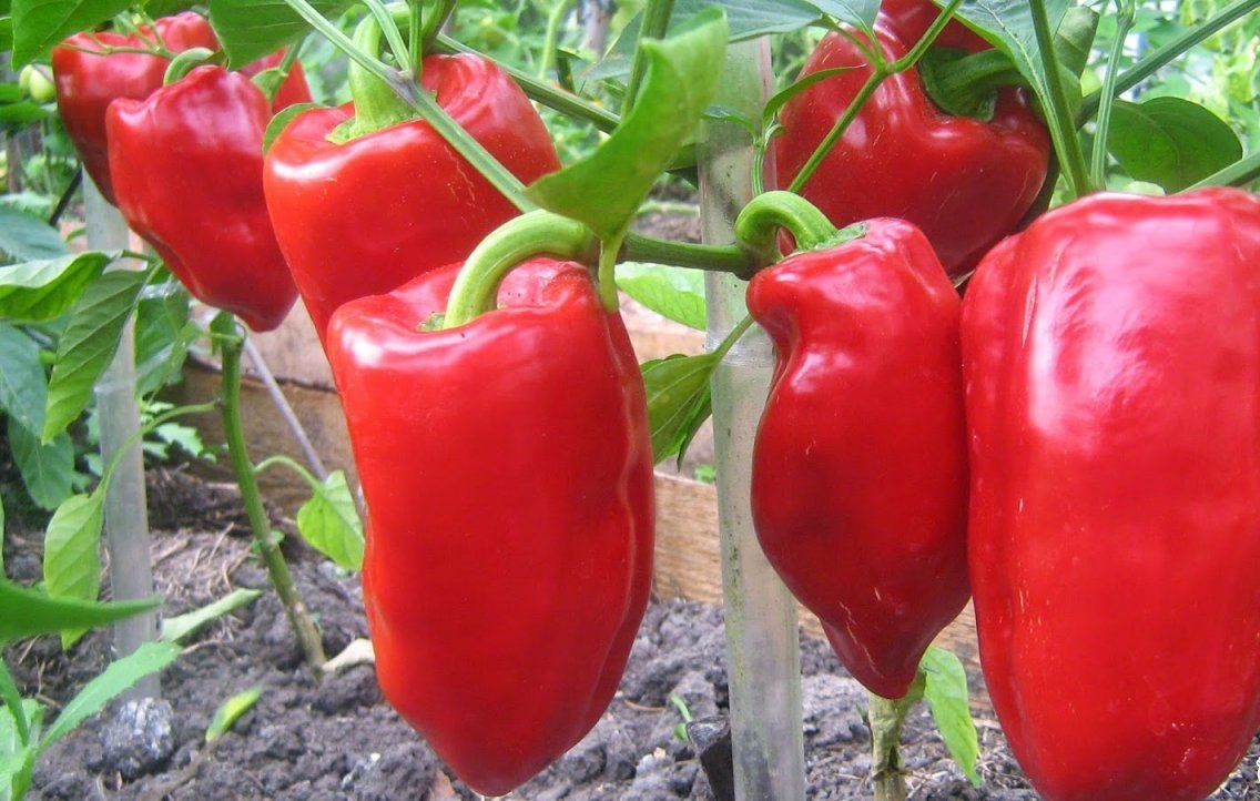 Правила агротехники перца