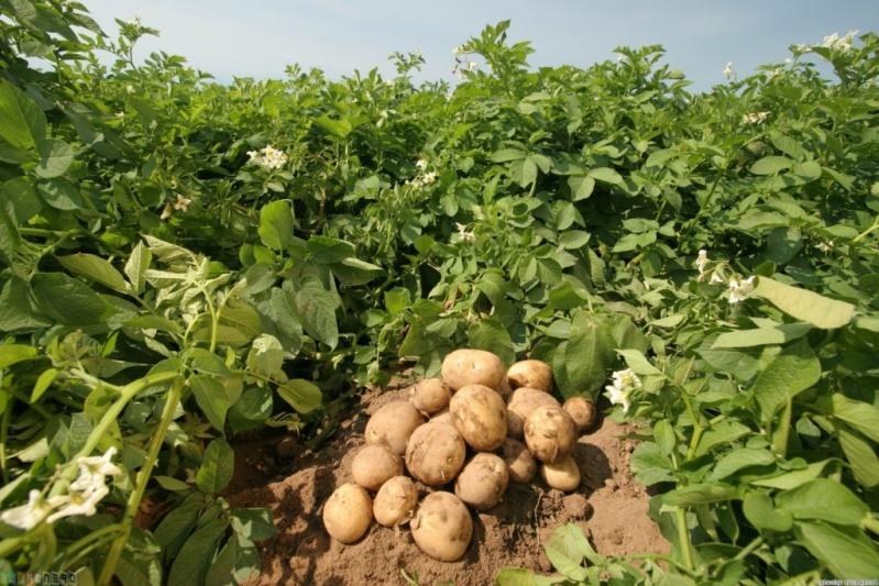 Правила выращивания картофеля в условиях изменения климата