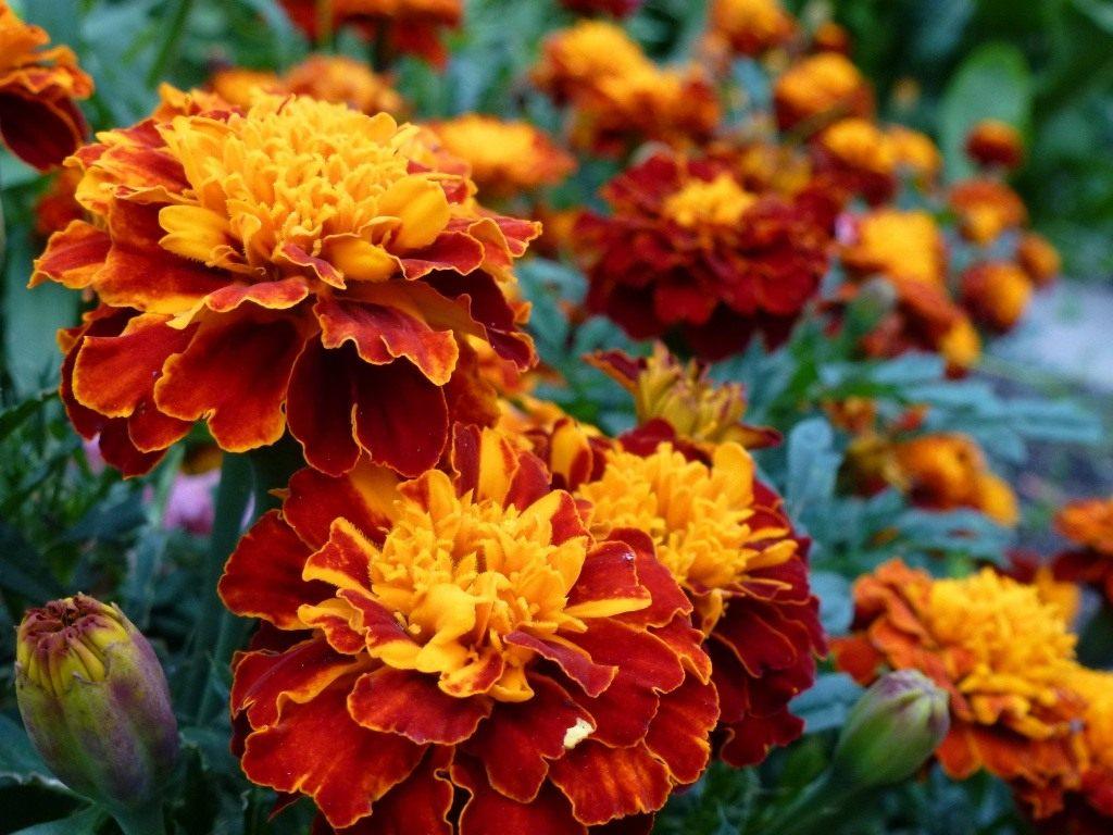 Сажайте бархатцы - оранжевое лето будет обеспечено