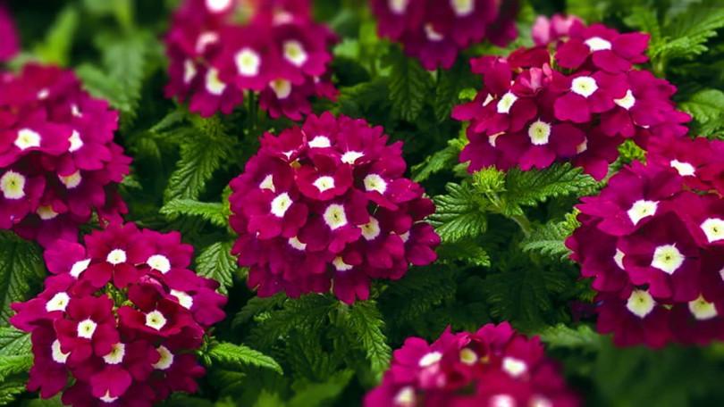 Однолетники в осенних цветниках