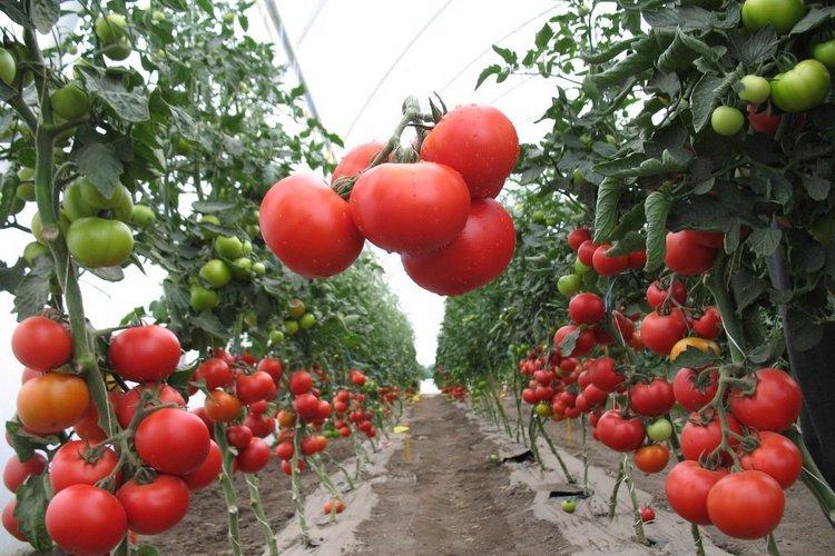 Томаты: основные правила агротехники