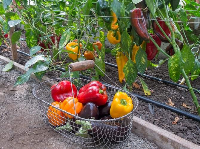 Выращивание перца и баклажанов: делюсь бесценным опытом