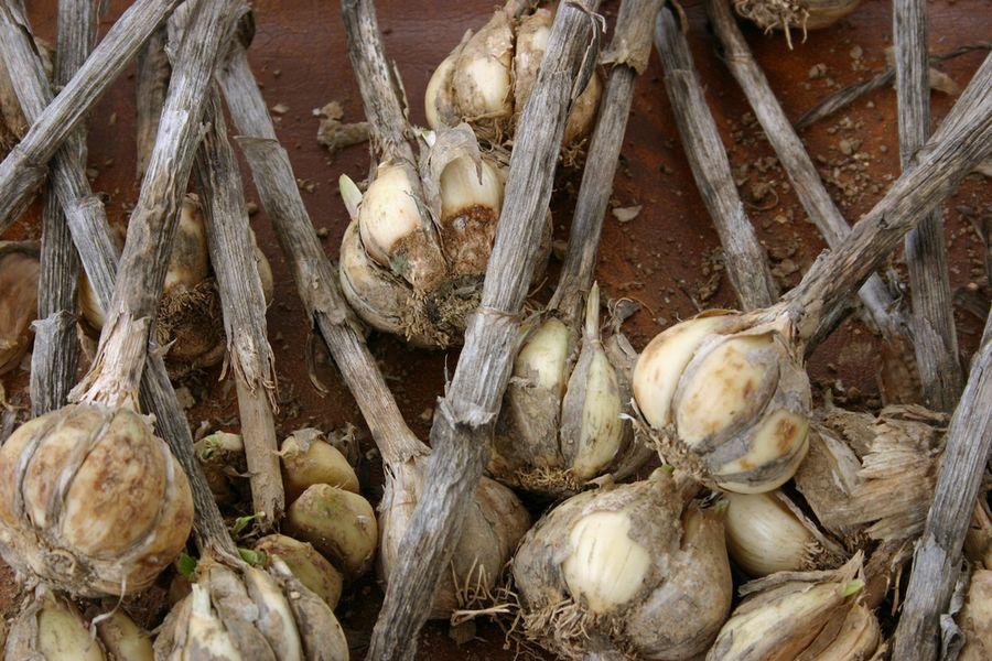 Грибковые и бактериальные болезни чеснока: борьба и профилактика