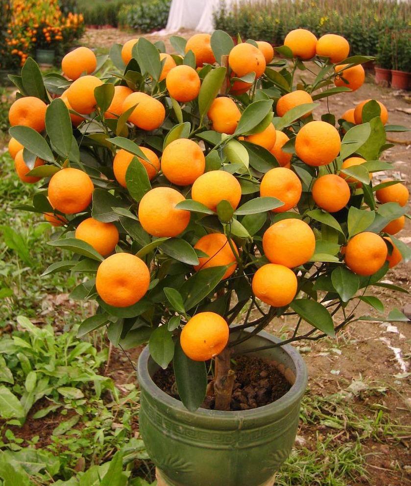 Как вырастить мандариновое дерево