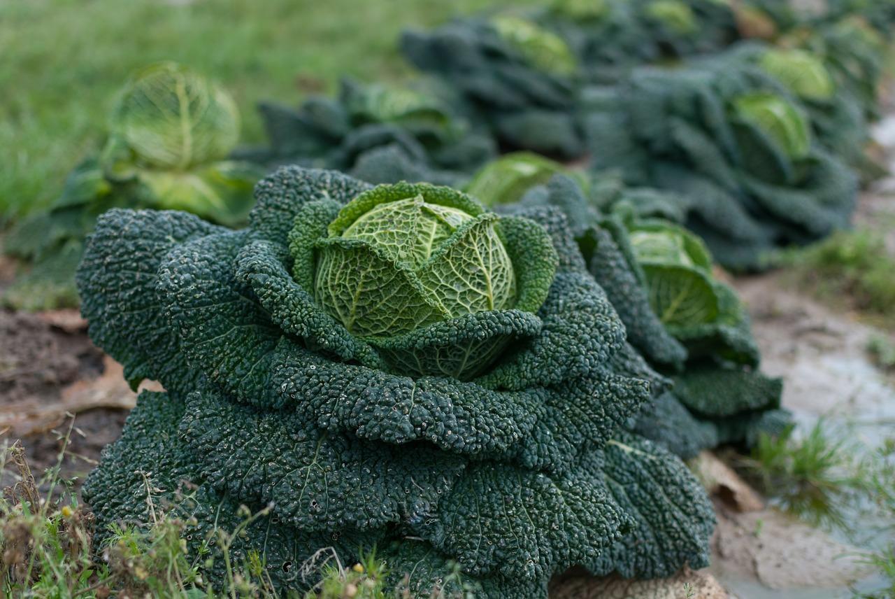 Савойская капуста: особенности выращивания