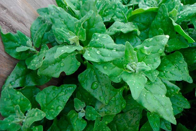 Новозеландский шпинат: выращивание и употребление